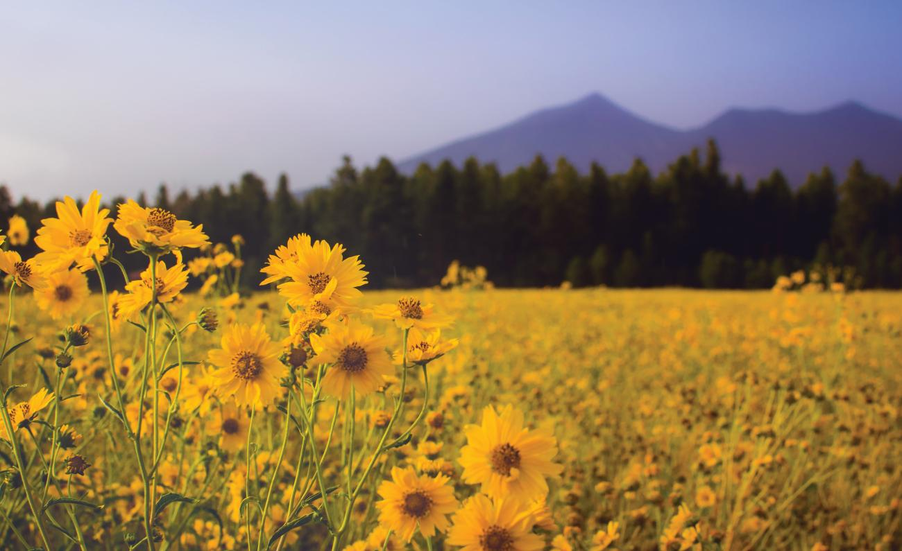 Yellow flowers in a field in front of tall trees and mountain